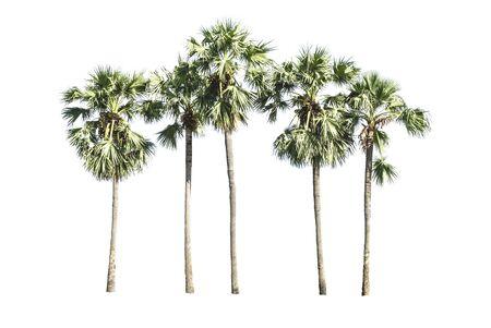 cambodian palm: Asian Palmyra palma, Toddy di palma, zucchero di palma, palmo cambogiana, palme isolato su uno sfondo bianco