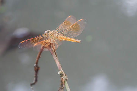 antenna dragonfly: dragonfly perched on a twig, blur background