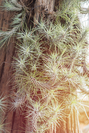 tillandsia: image of group Tillandsia or air plants for sale at the nursery Stock Photo