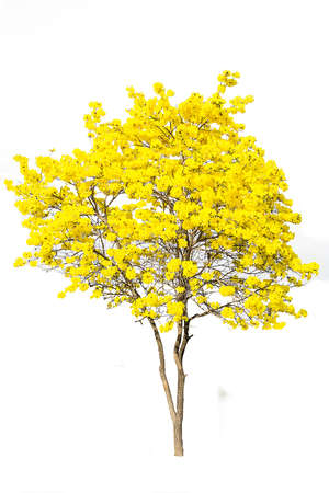 isolated on yellow: golden tree, tabebuia isolated on white background Stock Photo