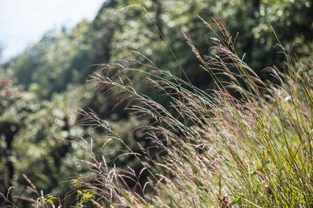 sway: Mission grass beautiful on meadow and soft light bokeh for background