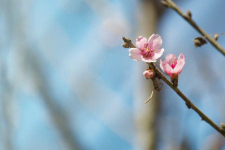 spring bud: Beautiful Cherry blossom , pink flower of thailand in the nature Stock Photo