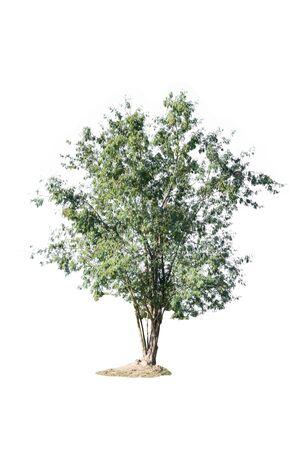arboles frondosos: Tree isolated on white background