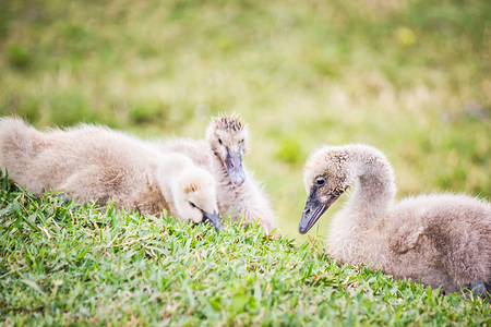 cygnet: Beautiful cygnet (swan) eating fresh green grass on a fine afternoon in spring.