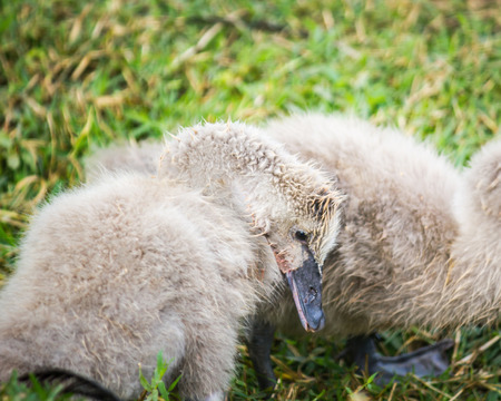 Beautiful cygnet (swan) eating fresh green grass on a fine afternoon in spring.