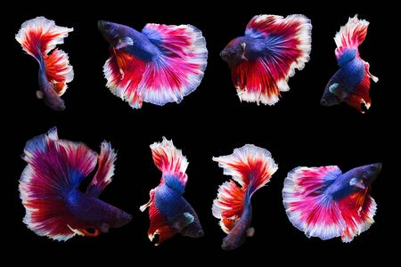 collection of betta fish isolated on black background.