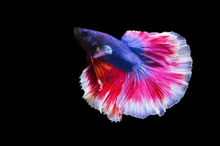 dragon swim: betta fish isolated on black background. Stock Photo