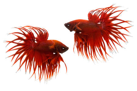 dragon swim: red betta fish isolated on white background. Stock Photo
