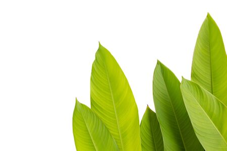 green leaf of Heliconia (Heliconia spp.) flower, tropical flower plants on white background, heliconia or bird of paradise flower plants