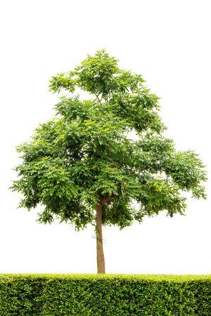 흰색 배경에 고립 된 인도 코르크 나무 (Millingtonia hortensis) 열 대 나무 디자인, 광고 및 아키텍처에 대 한 사용 스톡 콘텐츠