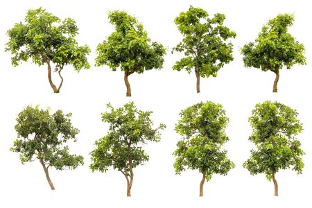 huge tree: Collection Of Green Tree Isolated On White Background, Tropical Trees Isolated Used For Design, Advertising And Architecture