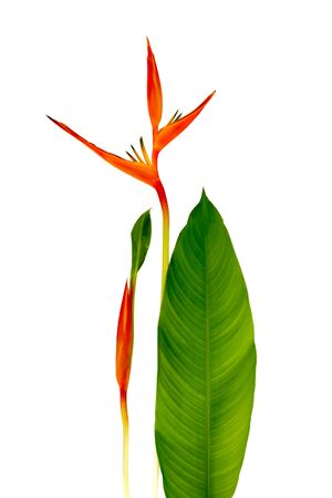 Beautiful Red, Yellow And Orange Heliconia (Heliconia Spp.) Flower Isolated On White Background, Tropical Vivid Color Flower On White Background, Heliconia Or Bird Of Paradise Flower Stock Photo