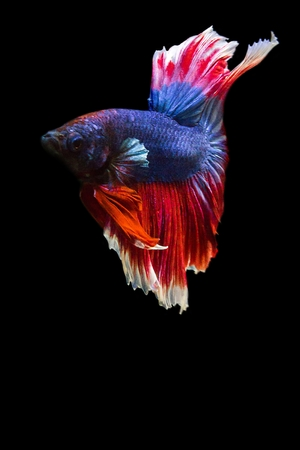 dragon swim: image of betta fish isolated on black background, action moving moment of Red Blue Rose Tail Betta, Siamese Fighting Fish