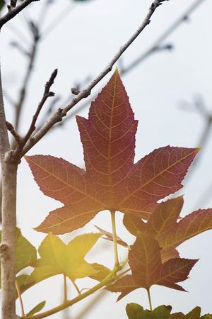 Colorful Foliage In Autumn Season, Warm Color Leave, Japanese Maple In Autumn