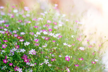 Gypsophila Flowers Most Commonly Used In Flower With Soft Light Stok Fotoğraf