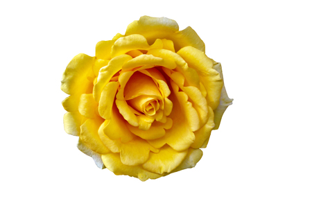Beautiful Yellow Rose Flower Isolated On White Background, Flower For Lover And Wedding Stok Fotoğraf