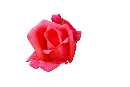 Beautiful Red Rose Flower Isolated On White Background, Flower For Lover And Wedding