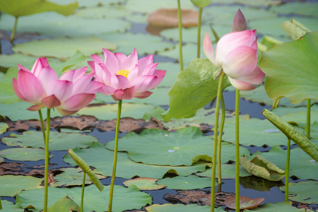 pink lotus flower blooming among lush leaves in pond under bright summer sunshine, It is a tree species that is regarded as your well-being symbol.