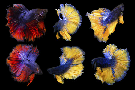 Collection Of Reaction Form Betta Fish Isolated On Black Background, Action Moving Moment Of Half Moon Betta, Siamese Fighting Fish