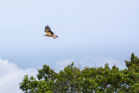 Hawks (Haliastur indus) Flying On Above The Treetops. Resident In Thailand