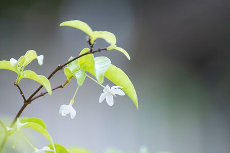 White Flower (Wrightia Religiosa Benth) With Beautiful Bokeh Background
