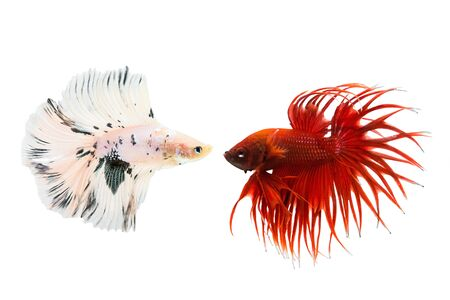 betta fish isolated on white background, action moving moment of Betta Crowntail, Siamese Fighting Fish