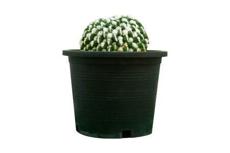Cactus isolated on white background, succulents in black pot. Stok Fotoğraf