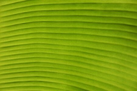 Texture Background Of Backlight Fresh Green Banana Leaf.
