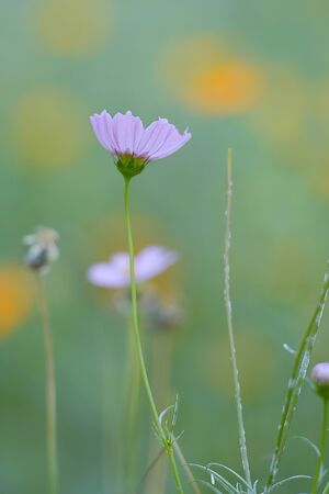 Close up Purple Cosmos Flower In The Meadow, Floral For Springtime Or Summer Season.