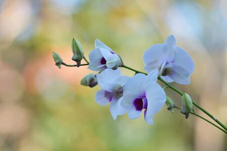 Beautiful Orchid Flower Grow In Tropical Garden With Natural Background. Stok Fotoğraf