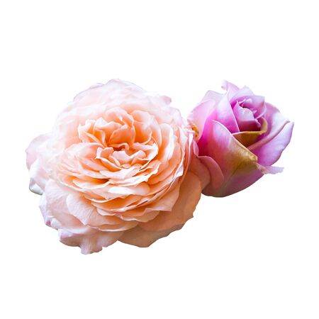 Beautiful Rose Flower Isolated On White Background, Flower For Lover And Wedding