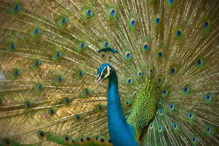Amazing Peacock, Beautiful Colorful Bird Feather, Abstract Natural Background Beauty Of Wild Animal. Stock Photo