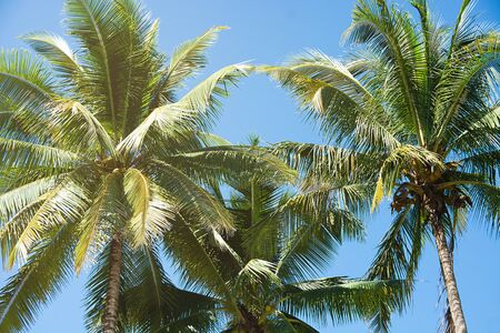 Coconut Palm Trees, Beautiful Tropical Background, Summer Concept.