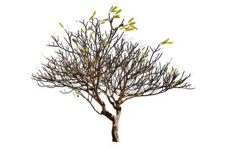 Plumeria Tree (Frangipani Trees) Isolated On White Background, Trees Database Botanical Garden Organization Elements Of Nature, Tropical Trees Isolated Used For Design.