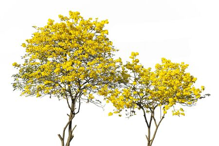 golden tree, yellow flowers tree, tabebuia isolated on white background.