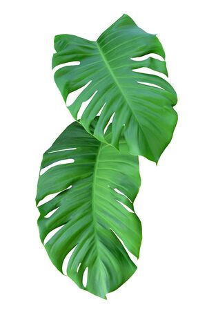 Green Leaf Of Monstera On White Background, Real Tropical Jungle Foliage Plants. Stock Photo