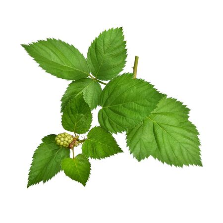 Blackberry fresh leaf isolated on white blackground. Stock Photo