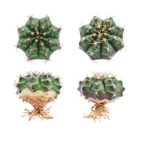 Collection Of Tropical Cactus Isolated On White Background. Stock Photo