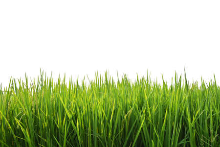 Paddy Rice Green Field Isolated On White Background. Stock Photo
