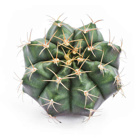 Tropical Cactus Isolated On White Background.