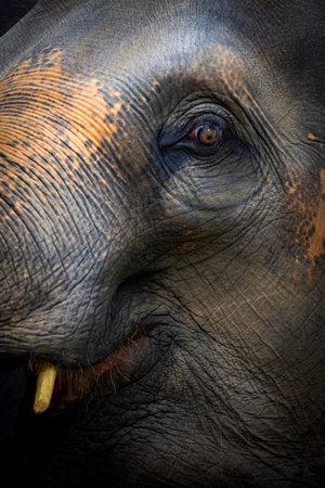 Close Up Of Elephant, Dramatic Portrait Animal. Stock Photo