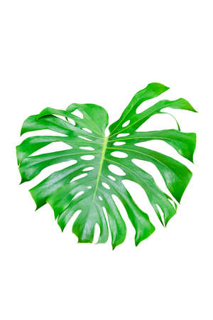 Green Leaf Monstera On White Background, Real Tropical Jungle Foliage Plants. Stock Photo