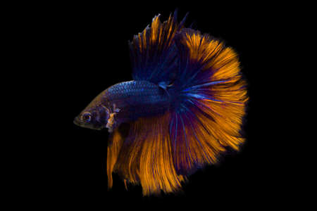 image of betta fish isolated on black background action moving moment of Yellow Blue Rose Tail Betta Siamese Fighting Fish