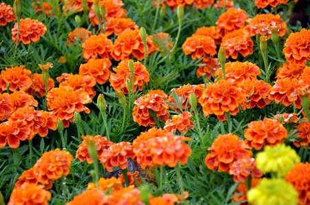 floriculture: french marigold targets patula Stock Photo