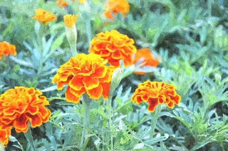 patula: french marigold targets patula , watercolor painting Stock Photo