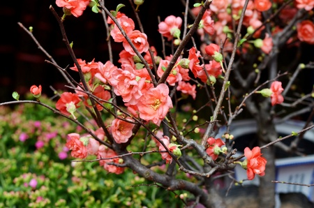 peach flower , decoration flower for chinese new year  photo