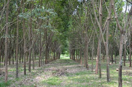 rubber plantation , rubber trees at Thailand photo