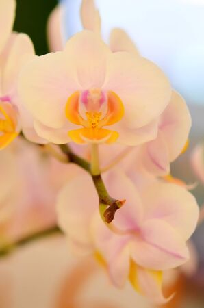 Close up of beautiful orchids blooms   photo