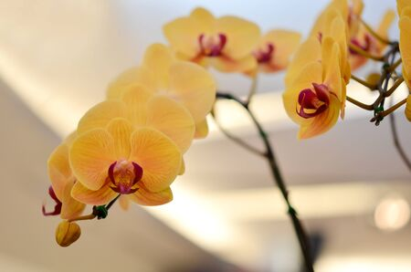 Close up of beautiful yellow orchids blooms   photo