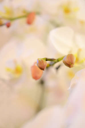 Close up of beautiful orchids blooms . photo